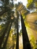 Researchers Model Near Future of Coastal Redwoods' Habitat