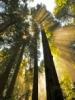Researchers Model Near Future of Coastal Redwoods' Habitat